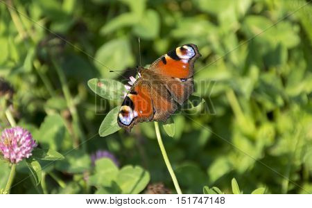 Inachis io Nymphalidae the butterfly of Peacock eye sitting on flower of red clover Shamrock Sunny day autumn