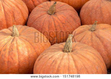 Calabaza Squash (West Indian Pumpkin) in a Pumpkin Patch in Northern California