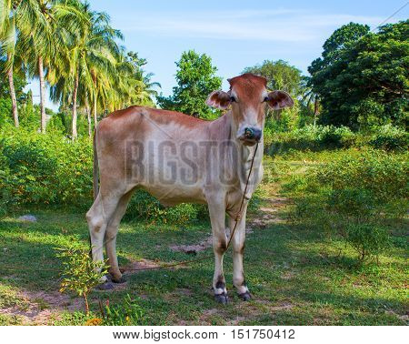 Young red cow in the meadow. Tropical landscape with palm trees. Green grass and baby cow. Domestic animal portrait. Cute small cow sight. Red and brown cow looking in camera. Agriculture in Asia