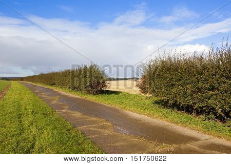 Hawthorn Hedgerow With Berries