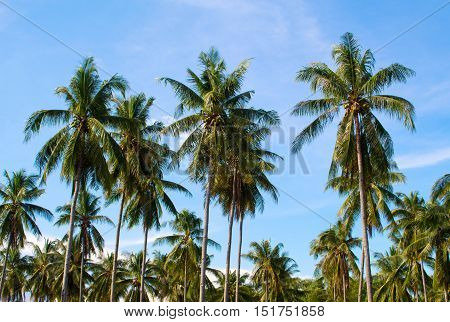 Palm trees grove. Sunny day on exotic island in Asia. Coco palm tree leaf and crowns on blue sky background. Tropical nature. Coconut palm garden. Optimistic image for banner template with text place