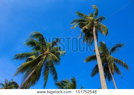 Sunny day on exotic island in Asia. Coco palm tree leaf and crowns on blue sky background. Tropical nature. Coconut palm garden. Optimistic image for card or banner template with text place