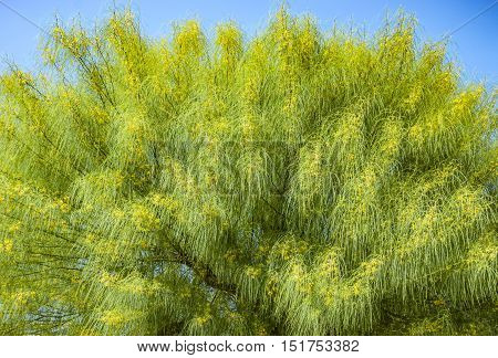Blooming yellow branches of acacia tree background