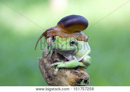 Dumpy frog, dumpy friendship between frogs and snails