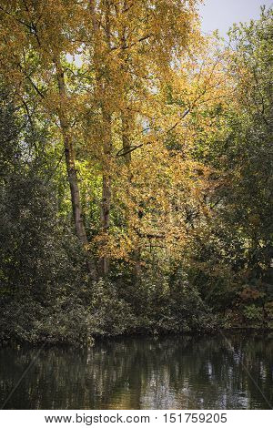 Stunning Autumn Fall Silver Birch Tree With Gold Leaves Reflected In Calm Lake