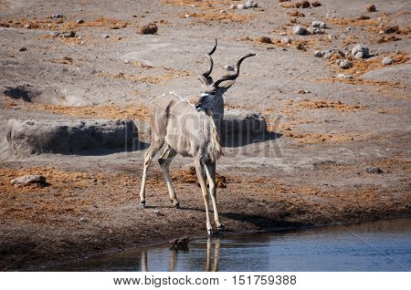 Male Kudu in a waterhole in the Etosha National Park in Namibia; Concept for travel in Africa and safari