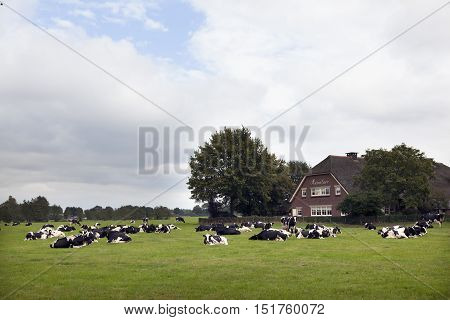 woudenberg, netherlands, 12 october 2016: black and white cows in meadow near farm house in the netherlands on Utrechtse Heuvelrug in province of Utrecht