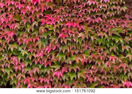 Wall Overgrown With Green Red Ivy Leaves