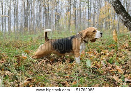 Dog Beagle on a walk in the autumn forest sniffing the dry grass