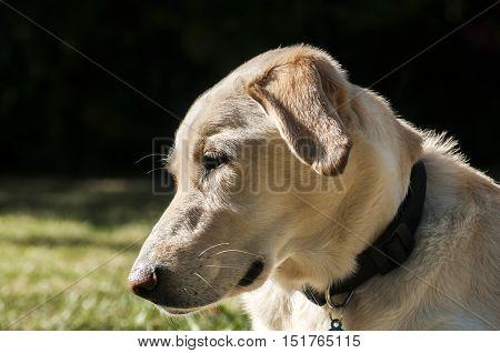 Female labrador dog head closeup in sunny day