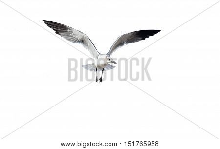 Bird isolated is a white bird captured spreading its wings like an ethereal angel.