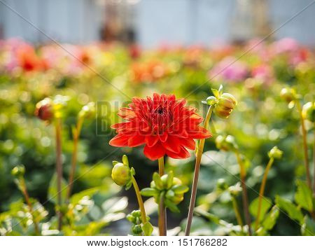 Dahlia Flowers Sprouting With Buds In A Greenhouse Field