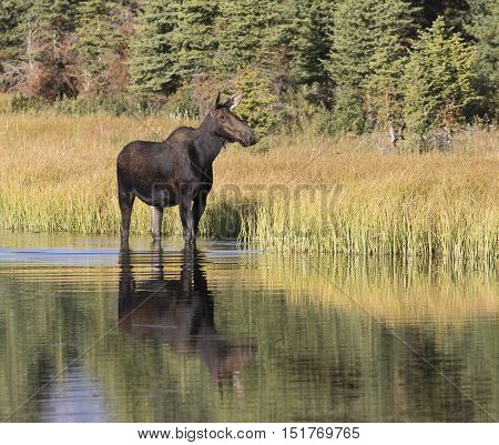 Cow moose standing in pond water and eating grass