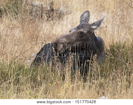 Cow moose ruminating in deep grass and sagebrush