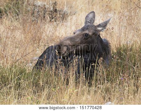 Cow moose ruminating in deep grass and sagebrush