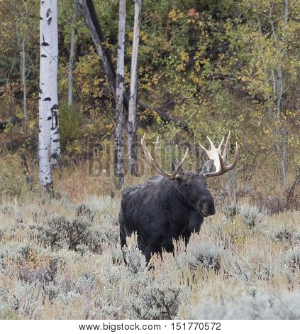 Bull moose in deep sagebrush with aspen trees in background