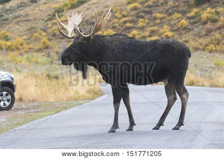 Bull moose crossing asphalt road with car next to highway