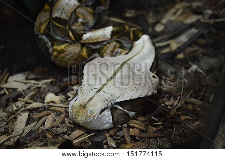 A gaboon viper snake photographed close up through a glass wall in Universeum in Gothernburg Sweden.