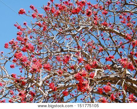 Blossom of Coral Tree in Ramat Gan Israel March 15 2011