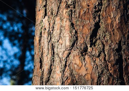 Closeup of a woody pine bark in forest