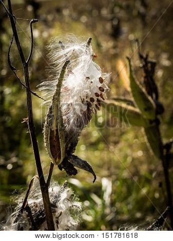 Thistle seed head burst open to reveal white, silky hair and seeds