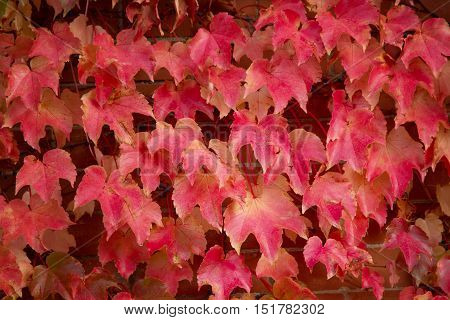 Red Maple leaves Cascading down a Brick Wall during the fall and autumn season