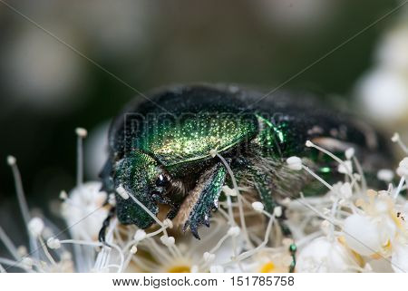Green Chafer beetle on a white flower. Cetonia aurata extreme macro closeup shot.
