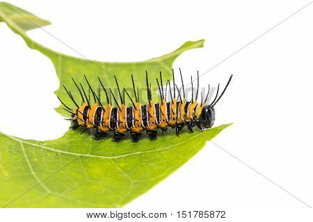 Close up of Red Lacewing (Cethosia biblis) caterpillar on its host plant leaf on white background