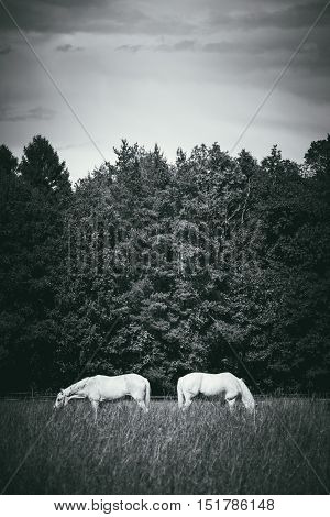 two white horses graze in a paddock field near forest. Grayscale vertical picture.