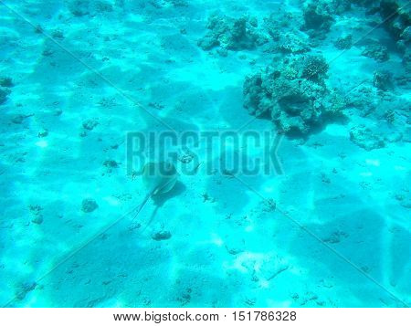 Tropical cramp-fish and hard corals in the Red Sea, Egypt. Vacation