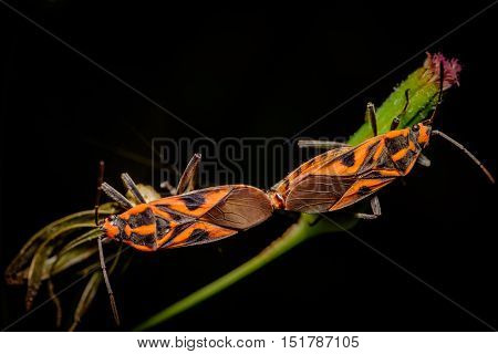 Two orange coloured stinkbugs mating on a flowering plant