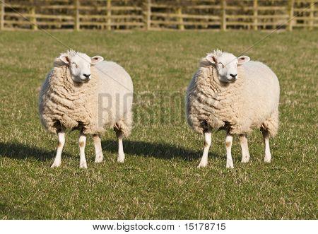 Sheep Cloning