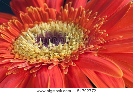 Red and yellow Gerbera flower extreme close up