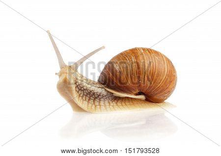 Burgundy snail (Helix pomatia) on white background.