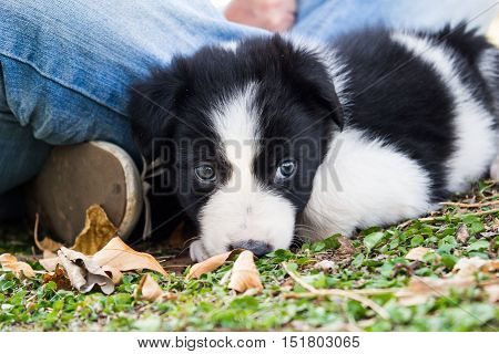 Border collie puppy on grass and autumn leaves lying close to owner with blue jeans
