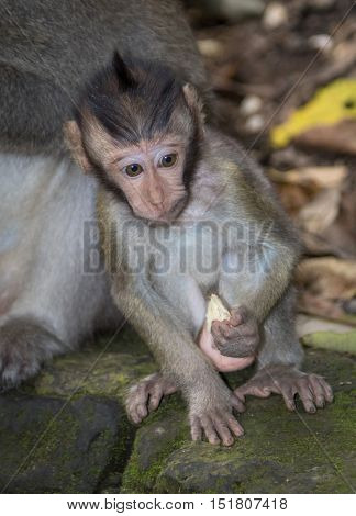 A young Balinese Long-Tailed Monkey in the Ubud Monkey forest in Bali, Indonesia.