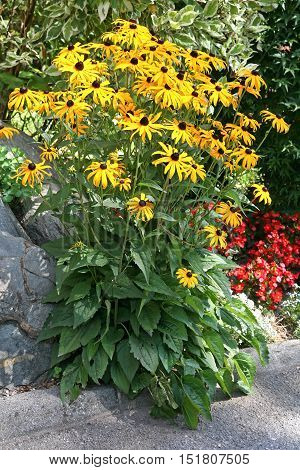 Rudbeckia fulgida 'Goldsturm' also known as coneflowers or black-eyed-susans