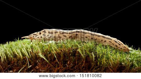 Great Leopard Slug