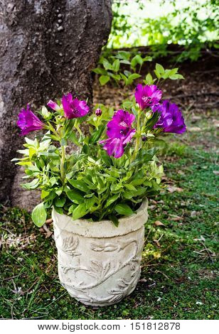 Purple Inca lily in pot under tree in dappled sunlight