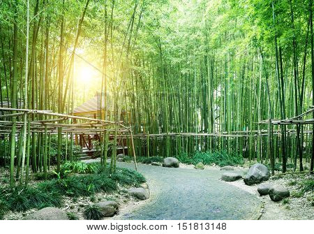 Rows of green bamboo and fence, spring landscape.