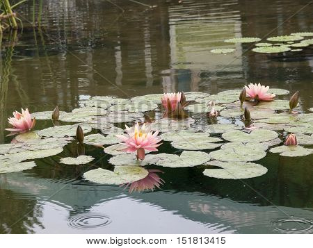Beautiful water lilies on the small pond