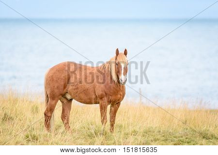 Horse in the Arctic grazing on a field long the Barents Sea