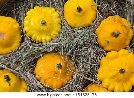 yellow Patty Pan squash displayed at farmer's market. Pumpkin cucurbit
