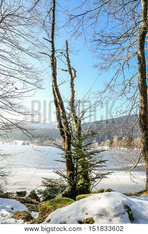 Closeup On Conifer With Frozen Lake In Background