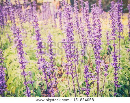 Vintage lavender flower filed with warm filter