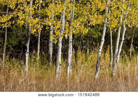 A small stand of white barked trees with yellow leaves.