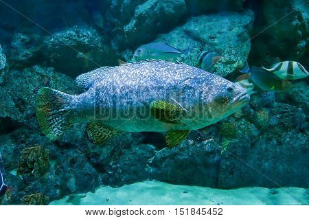 Beauty giant grouper fish in the aquarium