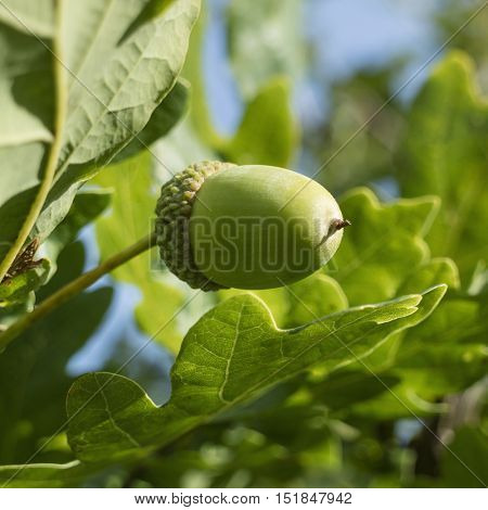 Fresh young acorn on a tree