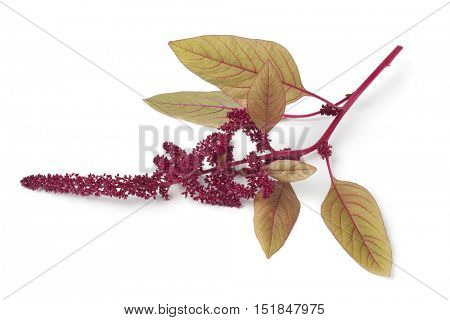 Twig with amaranth flowers on white background