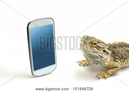 Agama lizard is lying on the white background and is looking on the empty display of the standing smart phone. All potential trademarks are removed.